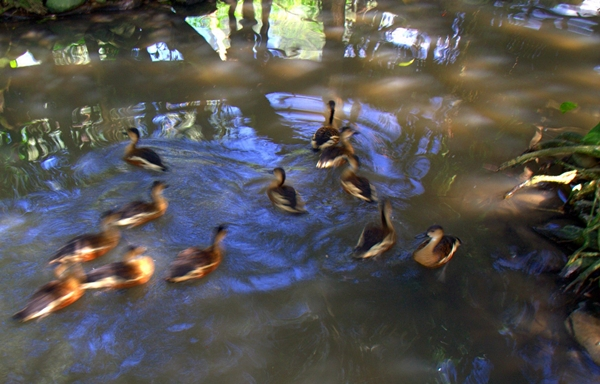 ducks in motion