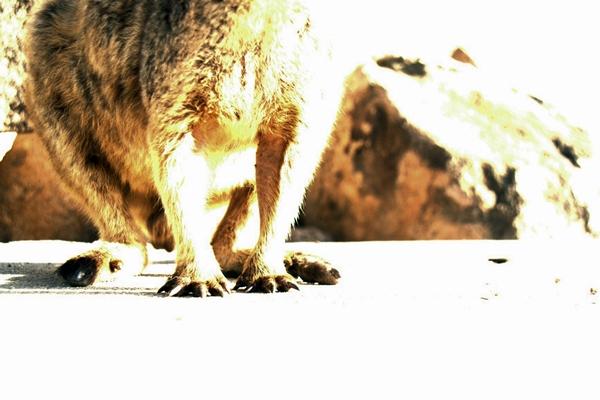 rock wallaby feet