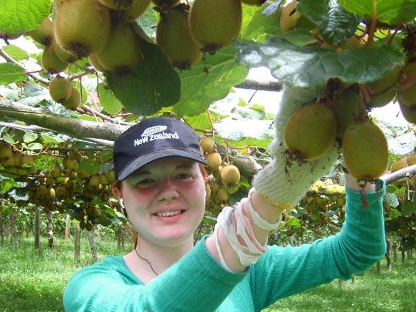Fruit Picking New Zealand North Island