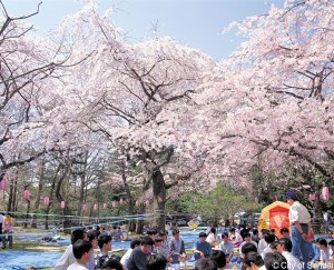 Japanese tradition of Hanami
