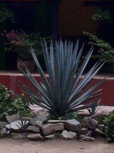 Tequila Agave