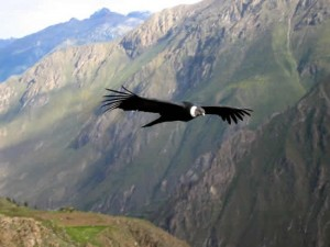 Condor in Colca Canyon, Peru